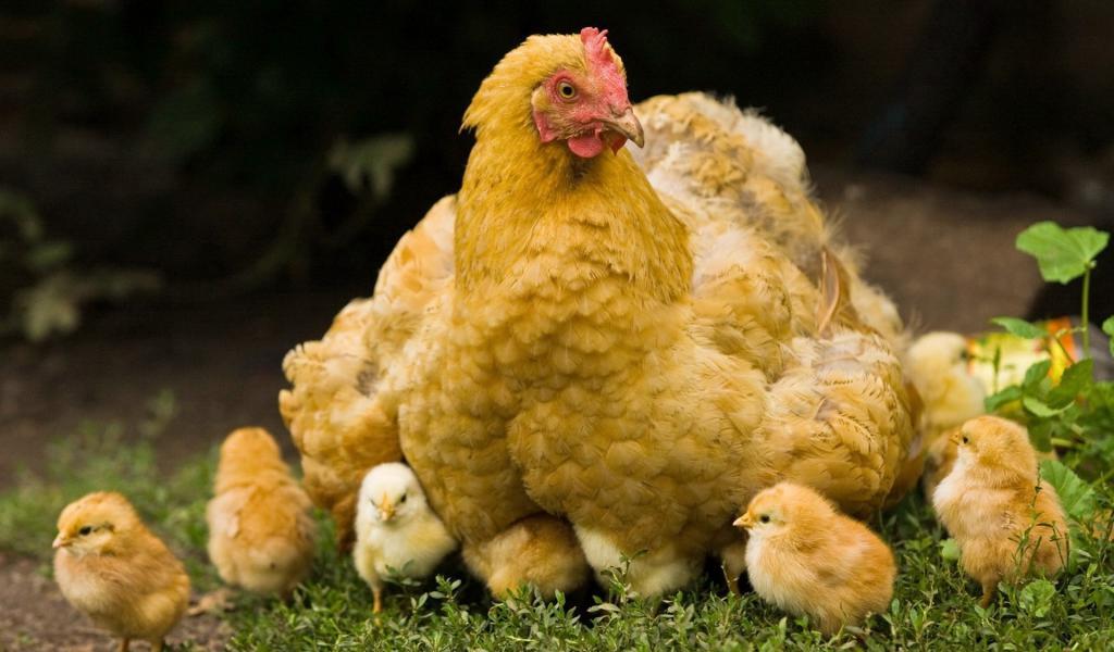 Важно сразу решить в каком количестве, какого возраста и для чего приобретается птица