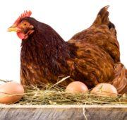 Вес курицы