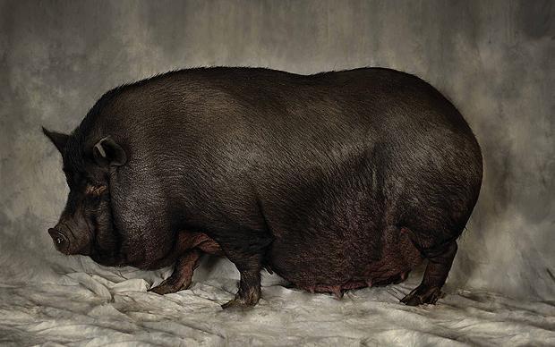 Вислобрюхая свинья из Азии
