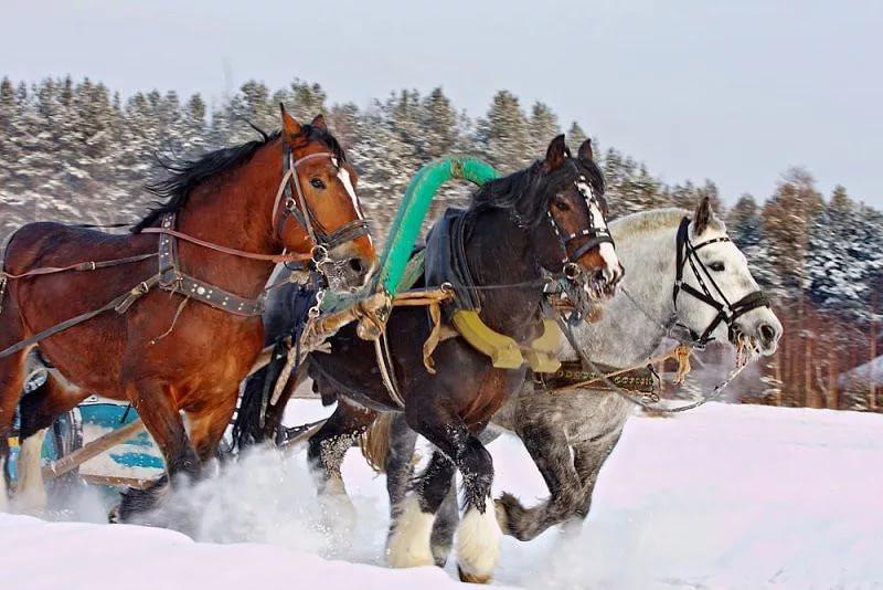 Владимирских лошадей чаще всего запрягали в русские сани, поскольку эти лошади могли долгое время тащить большие грузы даже зимой