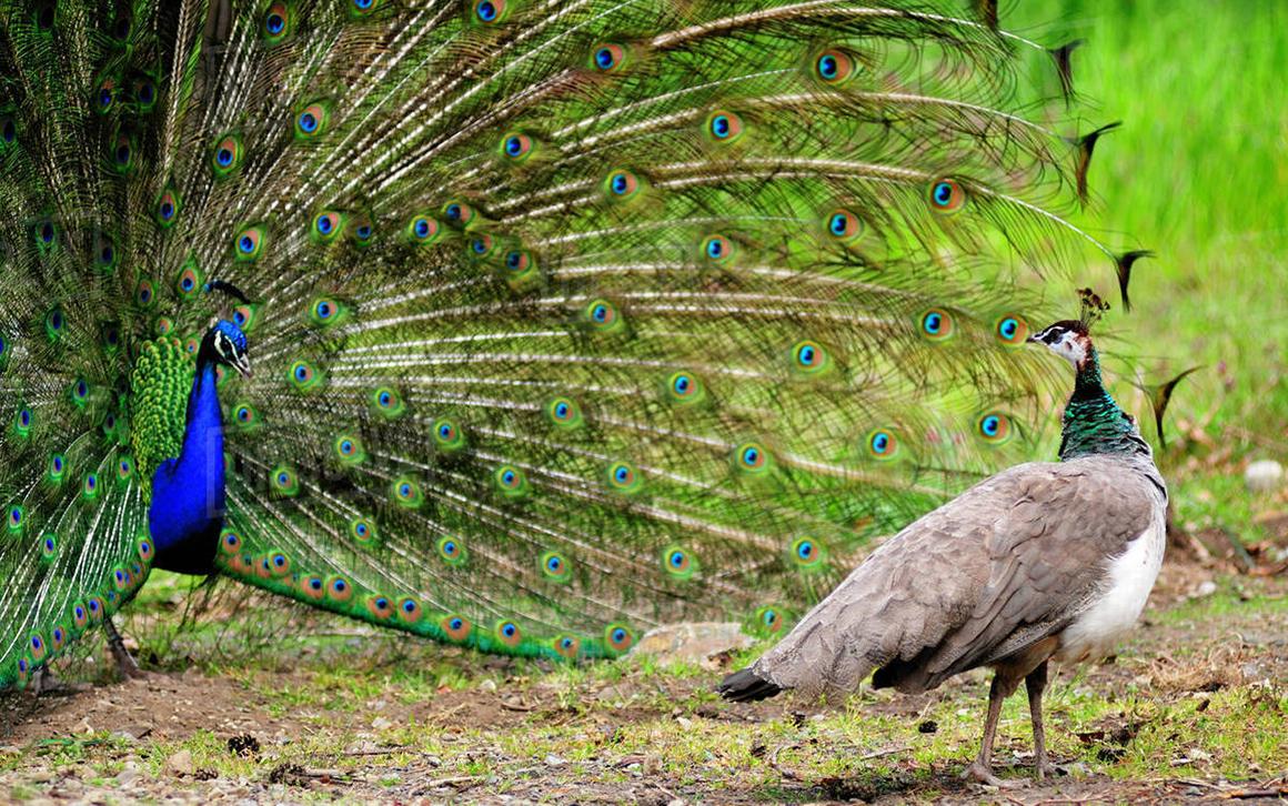 Внешность птицы зависит от пола