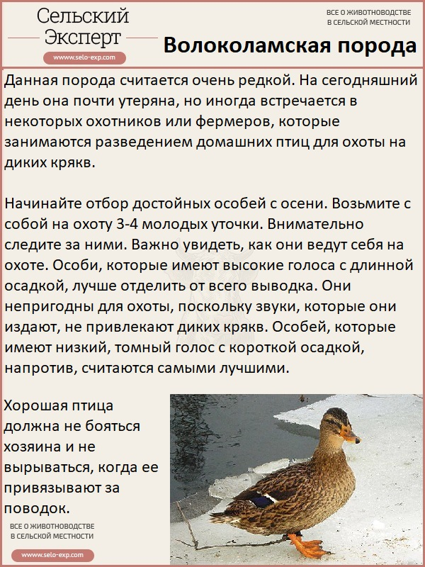 Волоколамская подсадная утка