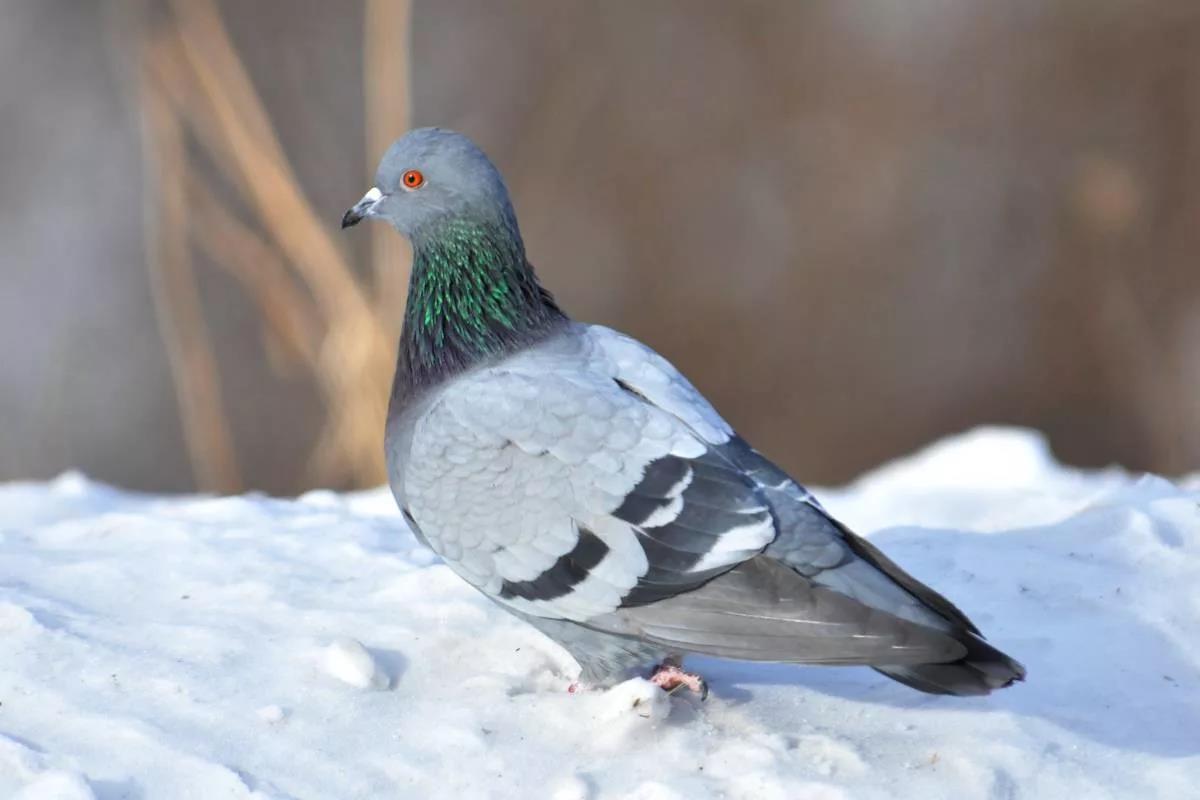 Всех голубей объединяет похожее строение тела