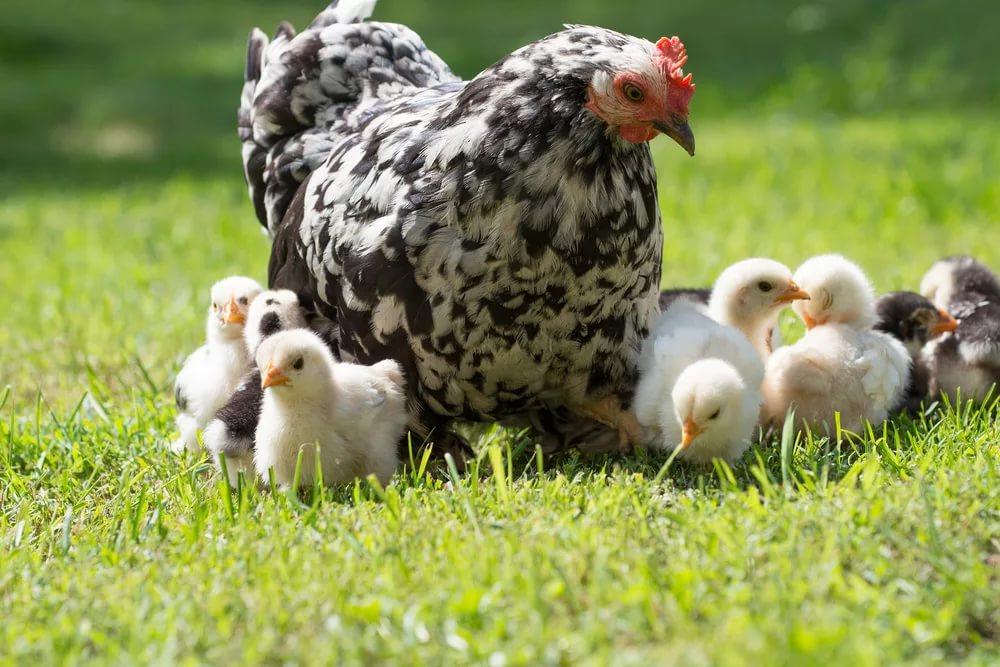 Выводок практически не требует внимания, так как курица способна самостоятельно позаботиться о детях