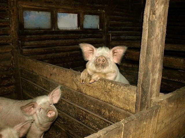 Выращивание свиней становится все более привлекательным занятием . А сколько стоят поросята?