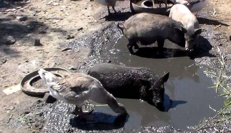 Вьетнамские свиньи любят купаться в грязи