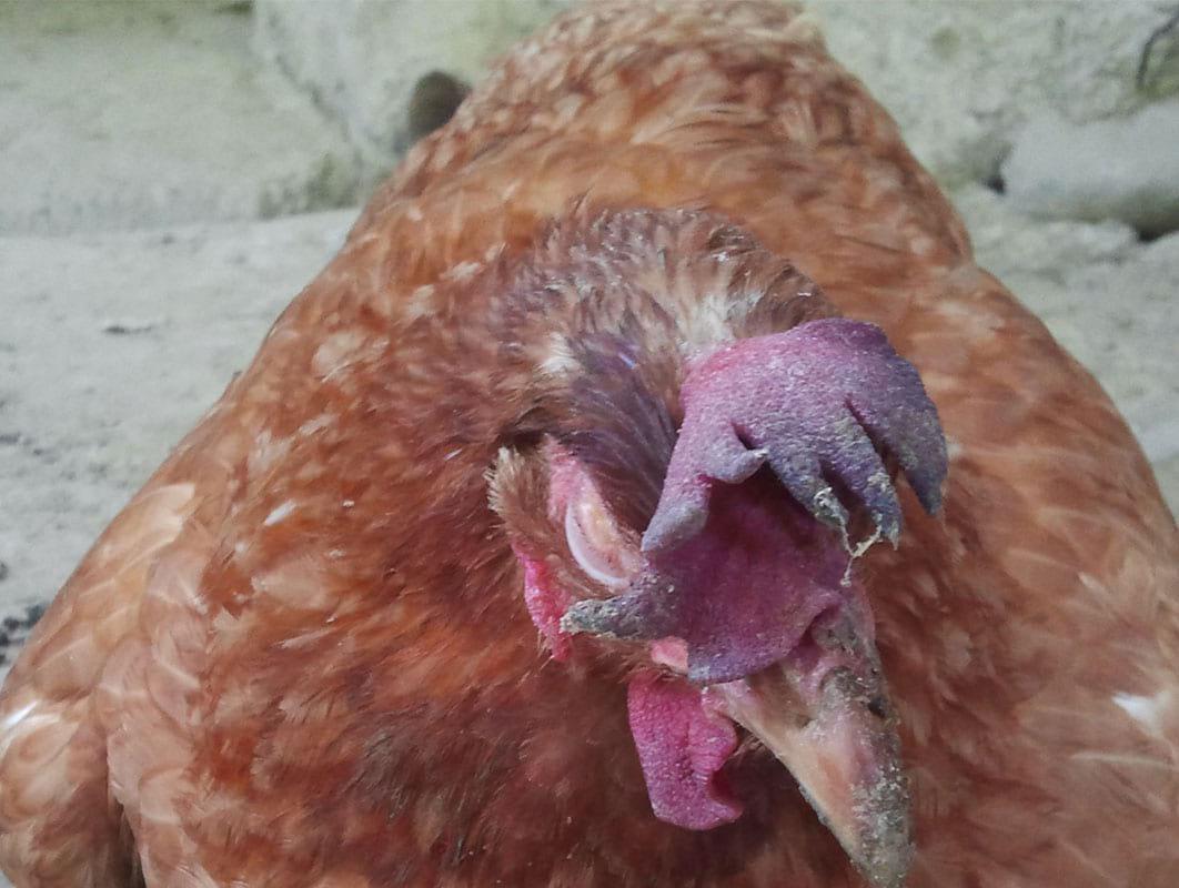 Вялость - первый признак почти всех заболеваний птиц