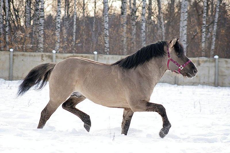 Вятских лошадей редко можно встретить в конных клубах России – порода малочисленна