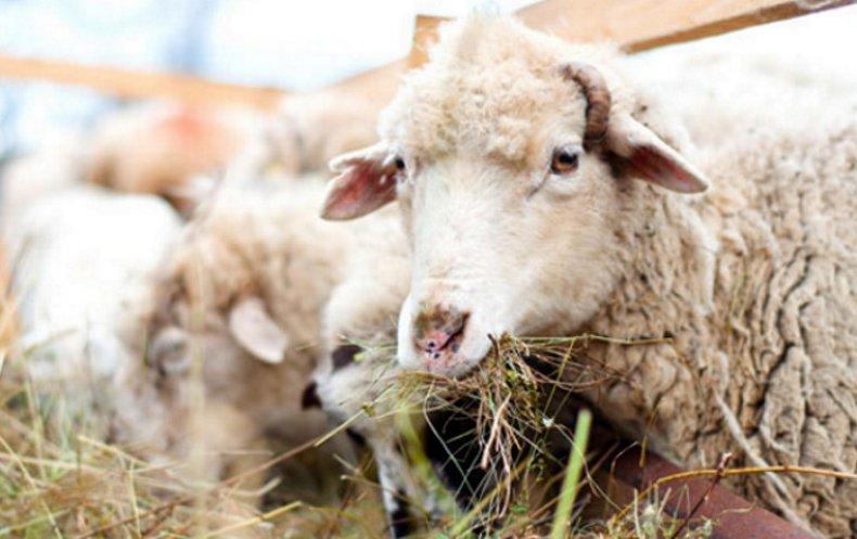 В зимнее время доступ овец к сену должен быть постоянным