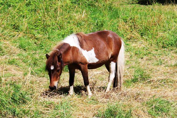 В летнее время пони можно не кормить дополнительно, если животные большую часть дня находятся на пастбище