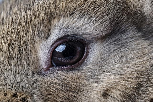В норме глаза у кроликов сухие и ясные