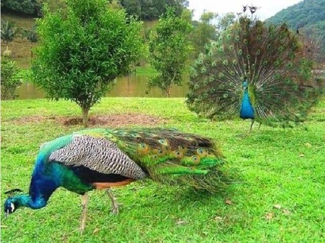 В природе павлин может есть пищу как растительного, так и животного происхождения