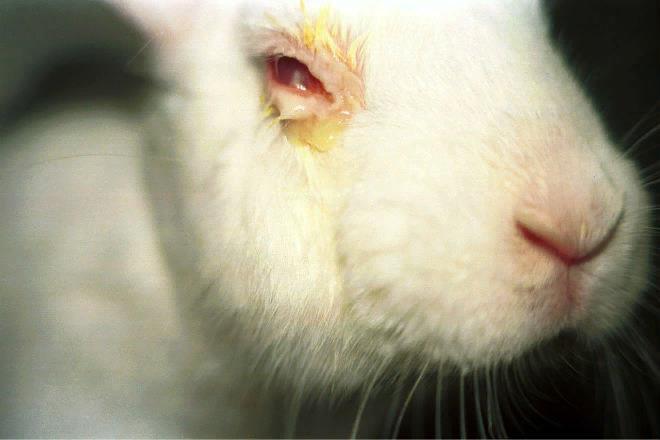 В случае конъюнктивита у грызунов сильно опухают глаза, происходит активное выделение слез
