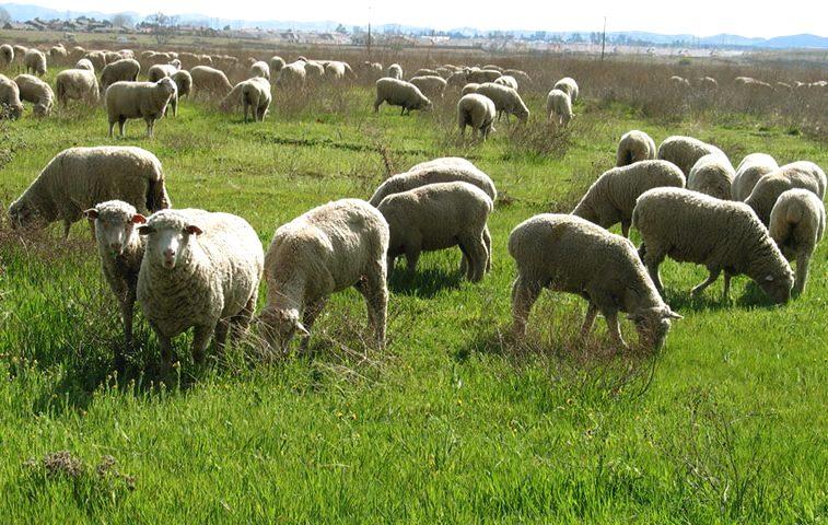 В теплое время года овцы едят подножный корм