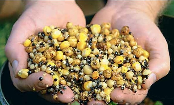 Голубей кормят промышленным или самостоятельно приготовленным кормом