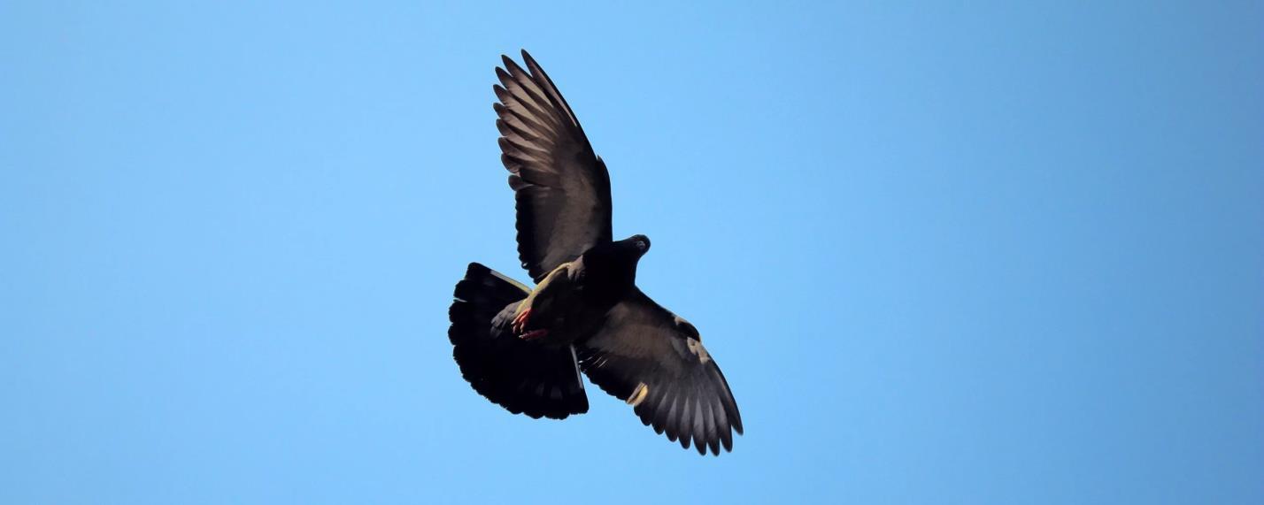 Голуби летают преимущественно в дневное время суток