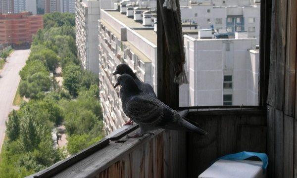 Голуби на балконе - неприятные соседи, способные доставить серьезные неудобства
