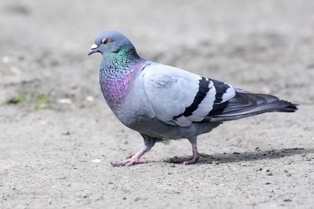 Голуби чувствуют себя уверенно не только в полете, но и на земле