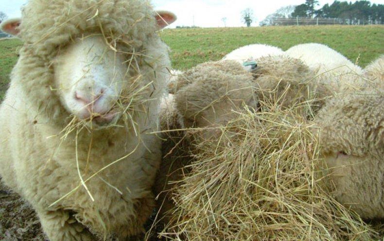 Грубые корма желательно заготавливать на летних пастбищах из привычных трав