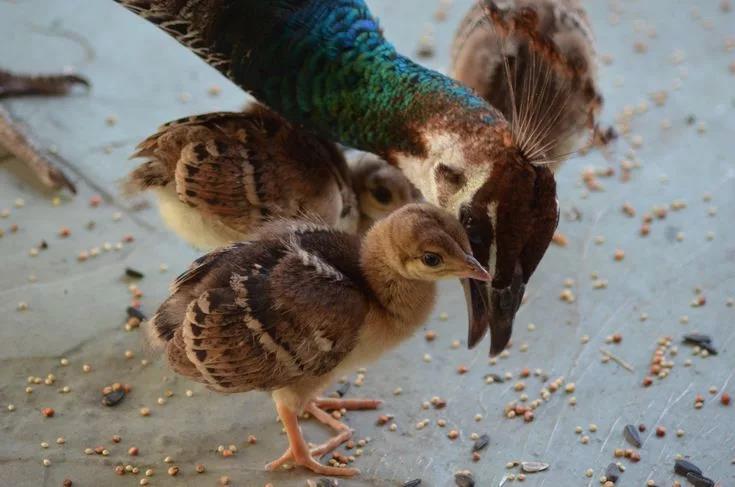 Даже среди детенышей павлина можно обнаружить самцов, потому что они крупнее