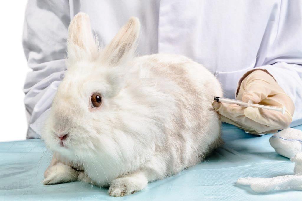 Декоративным кроликам рекомендуется делать прививки, как и другим домашним животным