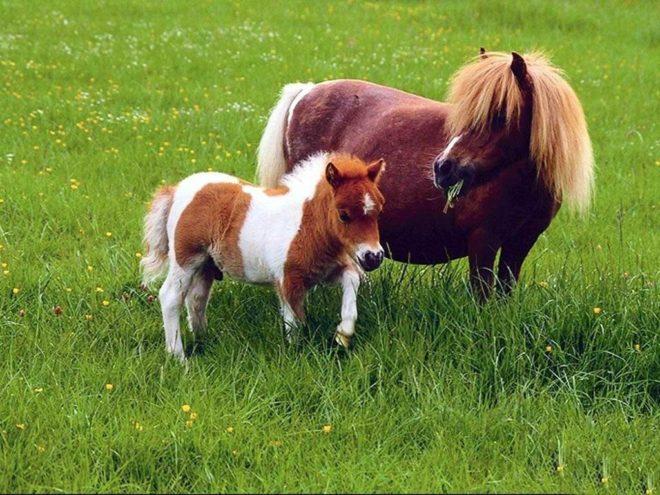 Детеныши пони имеют очень маленький рост