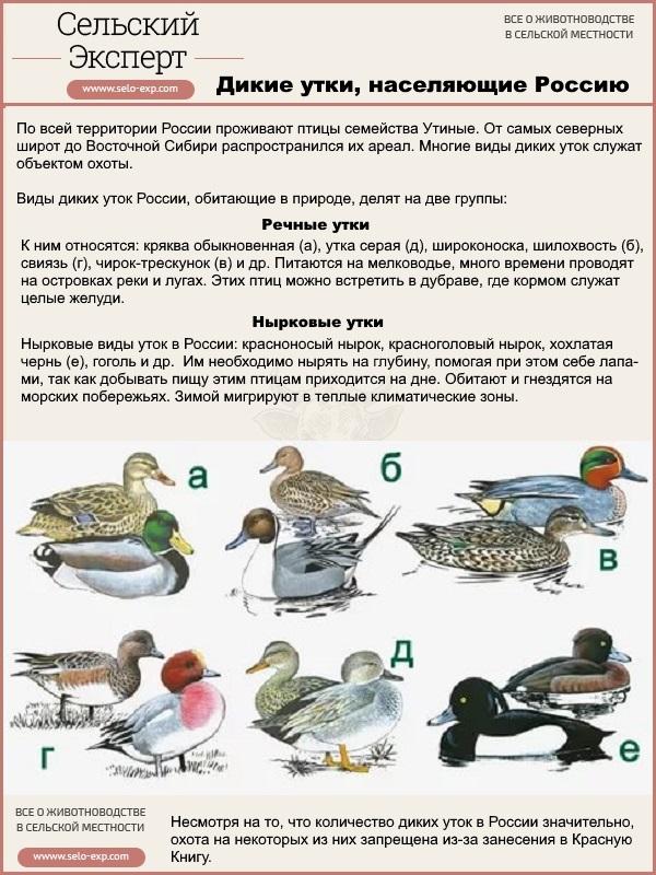 Дикие утки, населяющие Россию