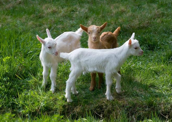 Если козлята не пойдут в разведение, кастрировать их удобнее в раннем возрасте
