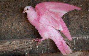 Еще один представитель искусственных розовых голубей