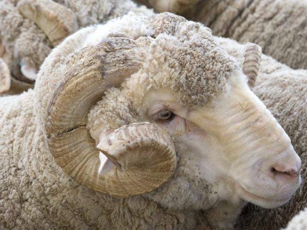 Забоем сельскохозяйственных животных обычно занимаются люди, имеющие определенные навыки и опыт
