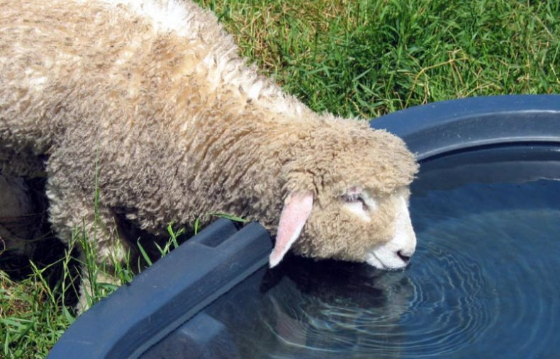 За сутки взрослая особь может выпивать около четырех-пяти литров воды