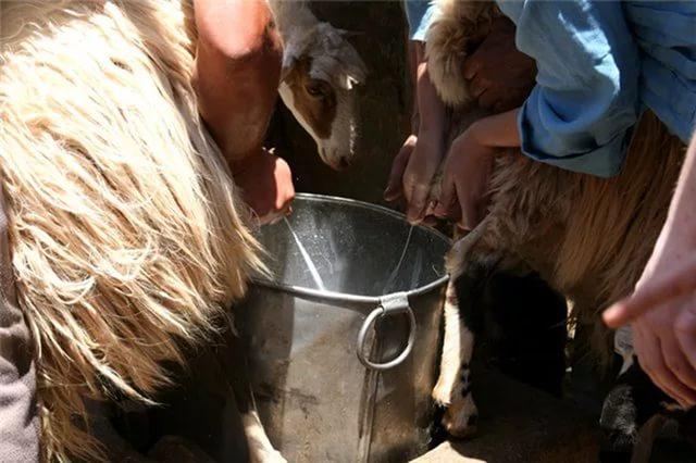 За сутки от одной овцы можно получить 2-3 литра молока, но не за одно доение!
