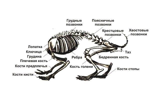 Из-за характерного строения периферического скелета животные могут прыгать на высоту