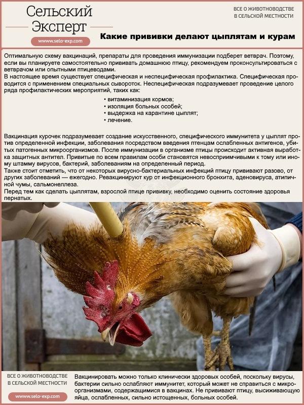 Какие прививки делают цыплятам и курам