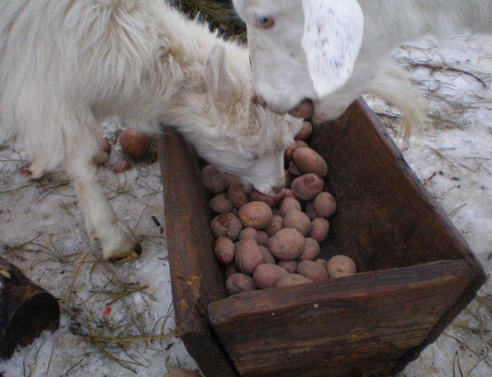 Козам можно давать картофель, сварив его предварительно