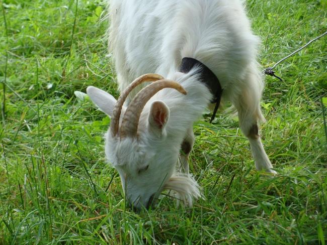 Коза ест зеленую траву