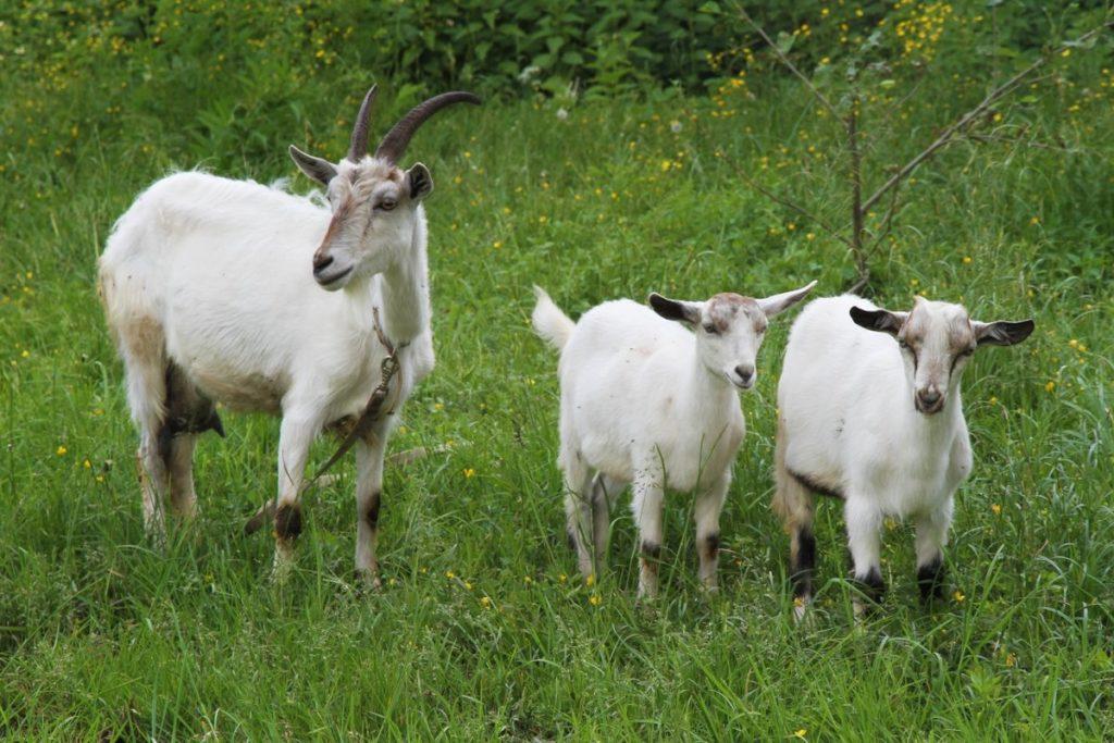 Коза с козлятами на выгуле