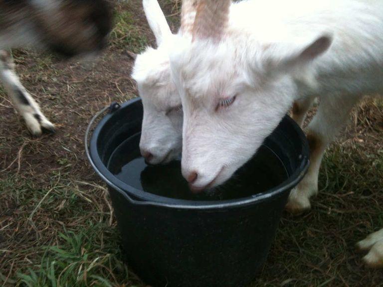 Коза учит козленка пить воду