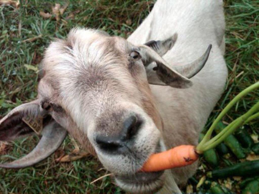 Козы любят морковь и капусту