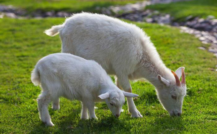 Козы на пастбище едят траву
