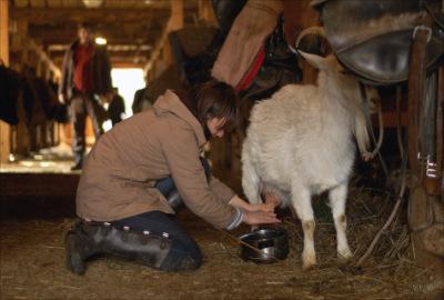 Количество доений животного перед окотом постепенно сводятся к нулю