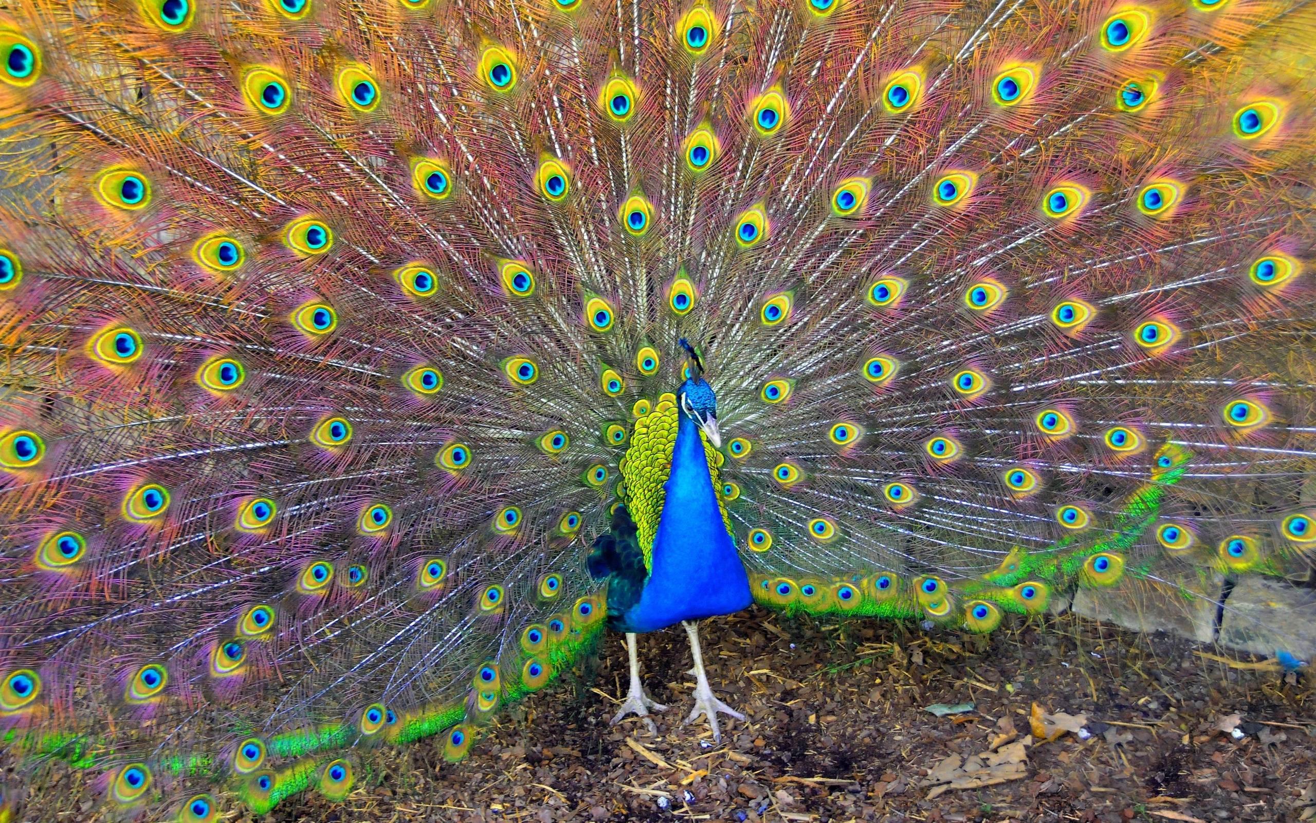 Концы хвостовых перьев украшают узоры в виде глаза
