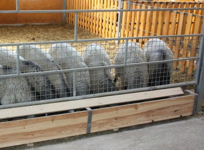 Кормление овец в стойле