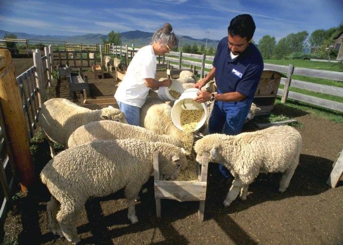 Кормление овец и баранов