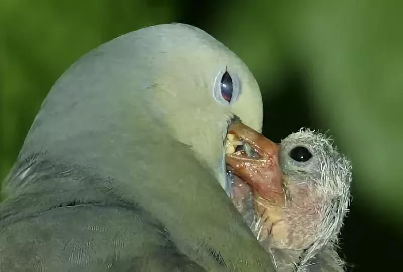 Кормление птенца голубя творожистым секретом