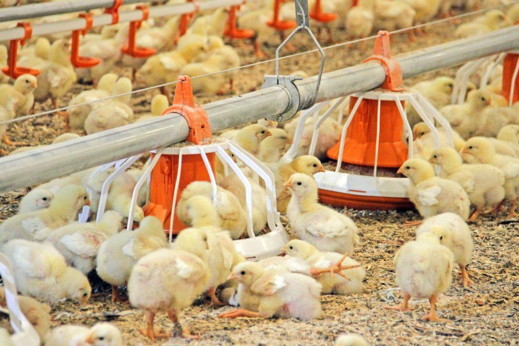Кормушки для птенцов на птицеферме