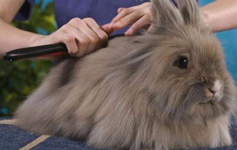 Кроликов расчесывают не менее раза в неделю