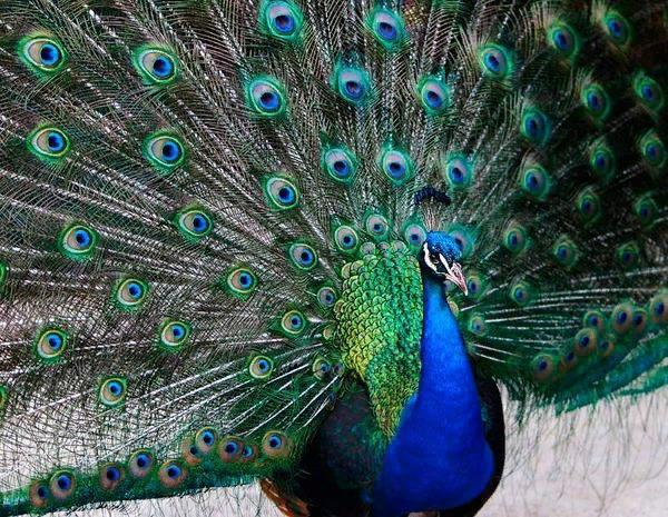 Кроме шикарного хвоста у самцов имеется выразительный хохолок на голове