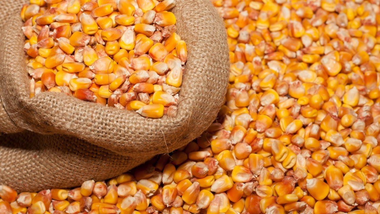 Кукуруза подходит для питания каждого вида домашней птицы