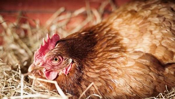 """Курицу можно """"научить"""" высиживать яйца с помощью небольшой хитрости"""